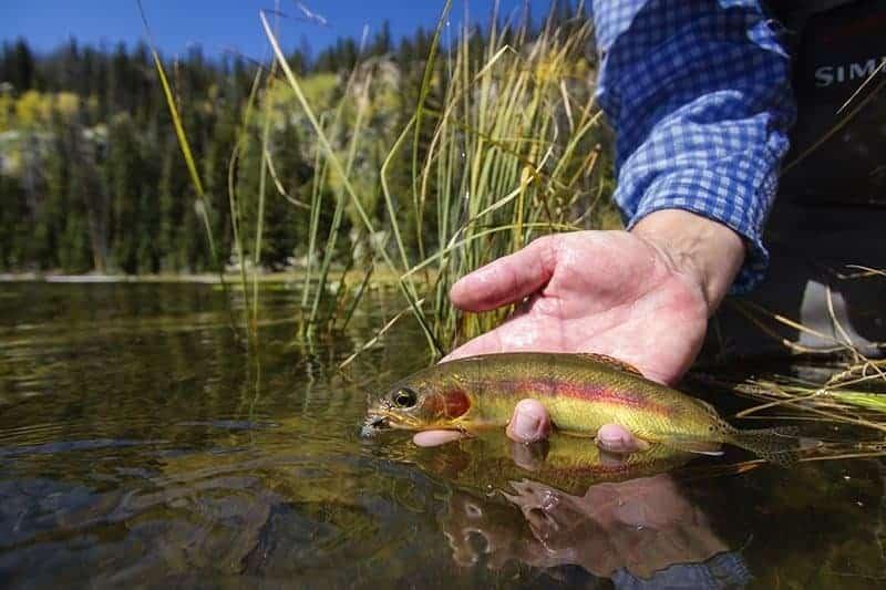 Utah Golden Trout